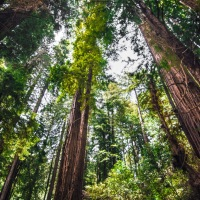 Would You Care For A Mere Stroll In Muir Woods?